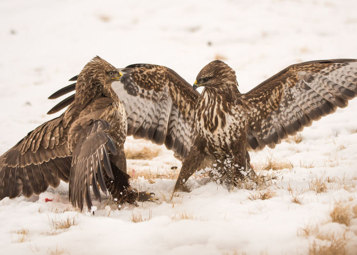 Birds fighting on field during winter