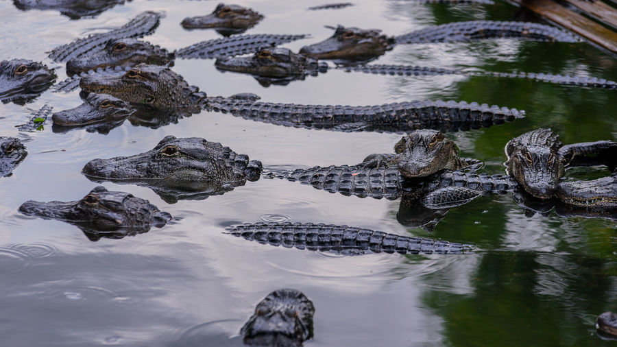 The Crowd Orlando The Week On EyeEm Aligator Farm Aligators Alligator Animal Scale Animal Themes Animal Wildlife Animals In The Wild Close-up Crocodile Day Floating On Water Nature No People Outdoors Reptile River Swimming Water
