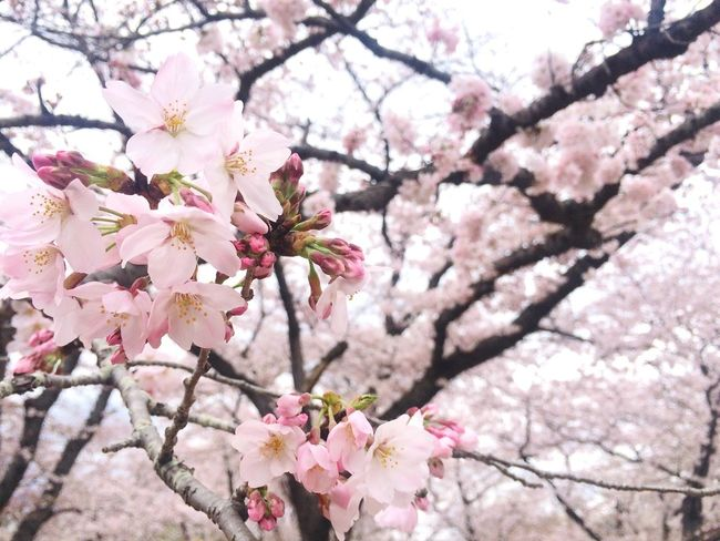 Taking Photos Cherry Blossoms Sakura2016 Beautiful Nature Springtime