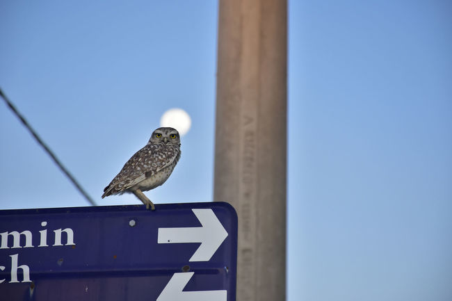 Owl standing on a street sign with the moon in the back Moon Moon Shots Animal Animal Themes Animal Wildlife Animals In The Wild Barn Owl Bird Blue Clear Sky Communication Copy Space Day Focus On Foreground Low Angle View Nature No People One Animal Outdoors Owl Perching Screech Owl Sky Vertebrate Wild Bird 10