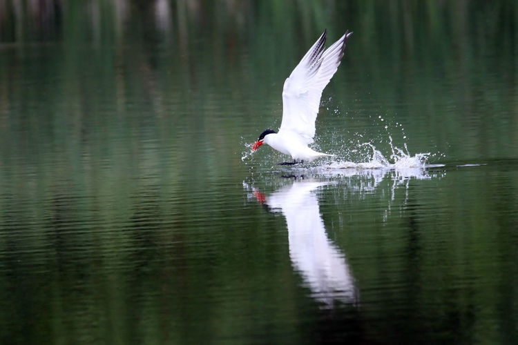 Side View Of Caspian Tern Flying Above Lake Water