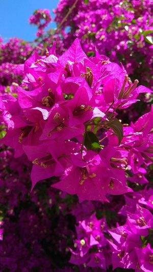 Buganvilla Pink Pink Flower Flowers Flower Head Bougainvillea In Bloom Botany Blooming Blossom