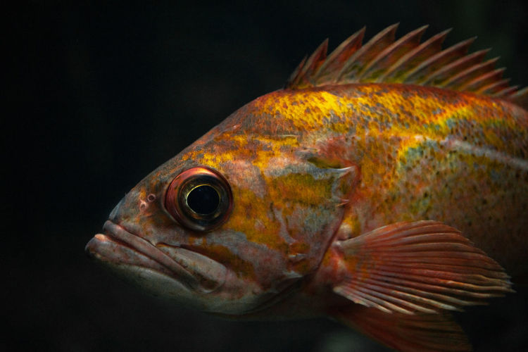 Animal Animal Themes Vertebrate Fish Close-up One Animal Animal Wildlife Black Background Sea Sea Life Animals In The Wild Water No People Marine Underwater Nature Swimming Side View Indoors  Animal Body Part UnderSea Profile View Animal Head  Animal Eye