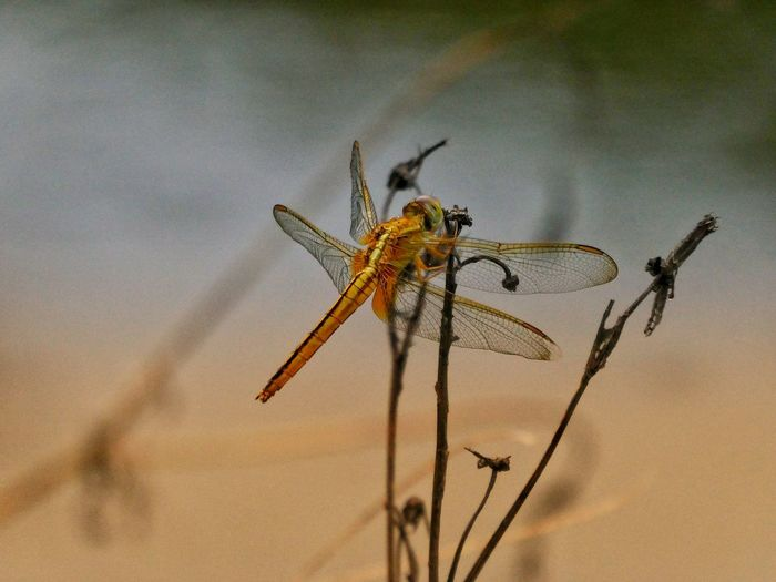 Insect Animal Wildlife Animals In The Wild Animal Themes Focus On Foreground No People Close-up Outdoors Nature Artphotography Dragonfly_of_the_day Beauty In Nature Golden Dragon Fly Nature Photography Art By Nature Amazing Colors Amazing Wings