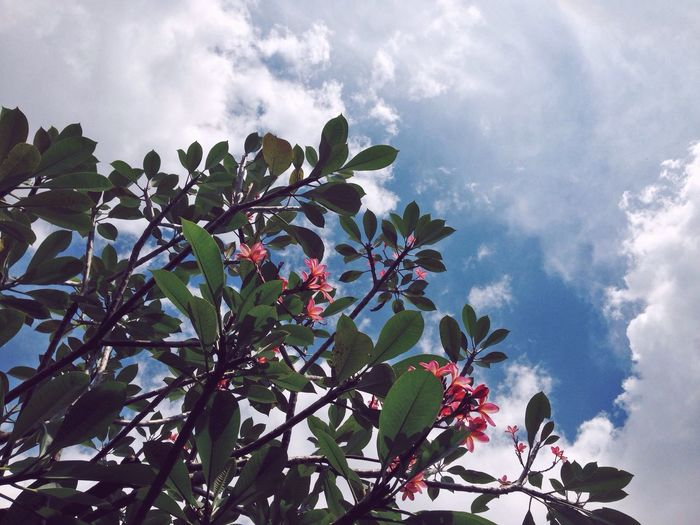 Summer Frangipani Frangipani Flower Lookingup Tree TreePorn INDONESIA Clouds And Sky Frangipani Tree Standing From Where I Stand From My Point Of View Millennial Pink