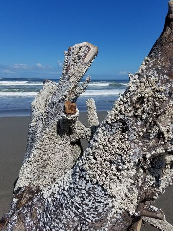 Barnicles Barnacles On Tree UnderSea Water Sea Life Sea Underwater Beach Wave Sand Close-up