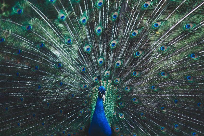 Close-up of beautiful peacock
