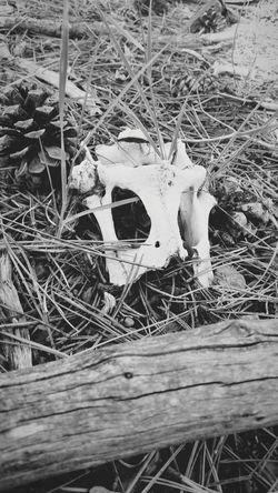 Animal Remains Mount Charleston Nature Bones Blak And White Animal Head  Animal Bones