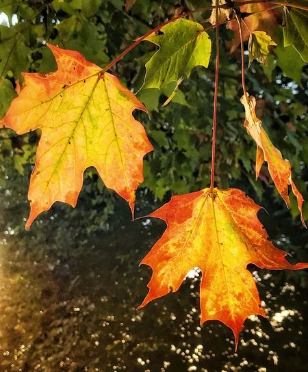 Autumn Leaves in the Morning Sun