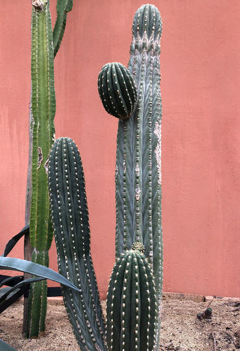 Cactus plants growing in front of a pastel colored concrete wall Cacti Plants Succulents Wall Backgrounds Beauty In Nature Cactus Close-up Color Concrete Day Growth Nature No People Pastel Plant Red Salmon Colored Spiked Succulent Plant Texture Thorn Tropical Wall - Building Feature Water