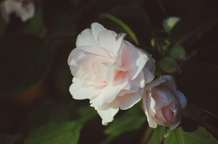 Roses Garden Flowers,Plants & Garden Pink Nature Outdoors Plants Flowers Green Flower
