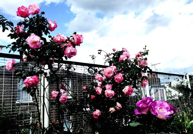 Roof terrace roses Roses Pink Rose Flowers Rooftop Roof Terrace Flowers,Plants & Garden Gardening Terrace Gardening Urban Gardening Clouds And Sky Clouds Blue Sky