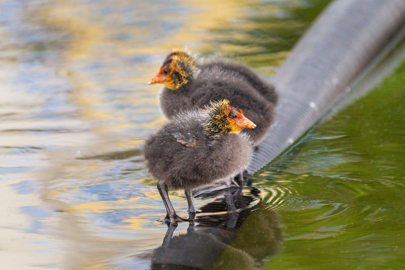 Close-up of young birds in lake