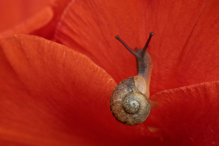 Close-up of snail on red flower