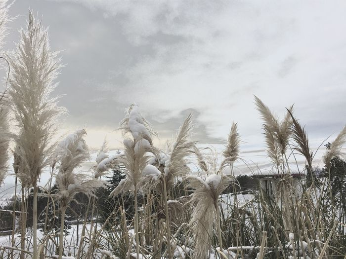 Growth Nature Field Sky No People Tranquility Landscape Snow Cereal Plant Rural Scene Growth In Nature Plant Cloud - Sky Dramatic Sky