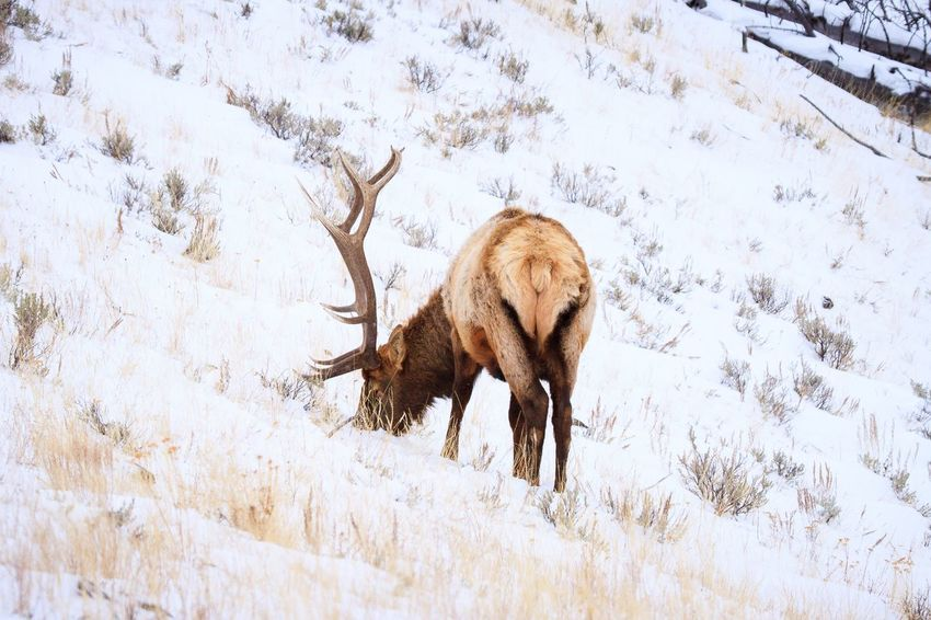 Bull Elk grazing in Yellowstone winter Antlers Elk EyeEm Selects Animal Animal Themes Mammal Animals In The Wild One Animal Animal Wildlife Snow Nature Winter No People Cold Temperature Vertebrate Plant Day Field Land Tree Outdoors Full Length