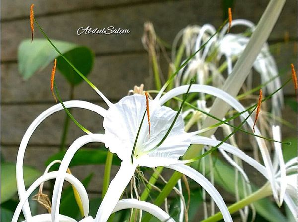 Spiderlily Flowers Flowerpower Nokialumia1020 Flowerphotography Closeup Lily Flower Nature Singapore Hanging Out
