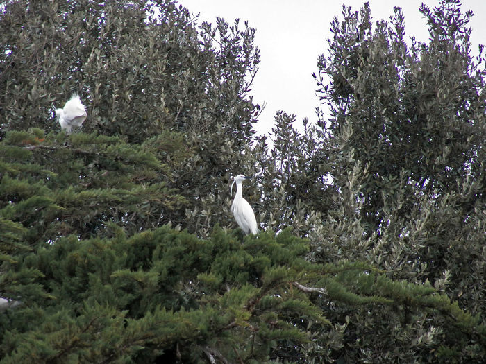2 egrets in a high section part of tree in a 4x3photography Two Egretta Alba Birds Special Feathering White Birds Egrets Perching In Green Tree Birds Photography