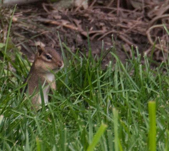 Chipmunk Watcher Summertime