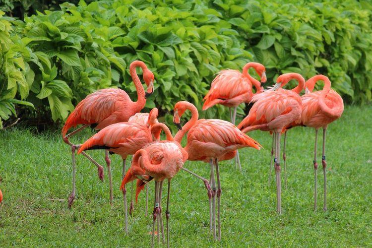 Flamingos standing on green grass