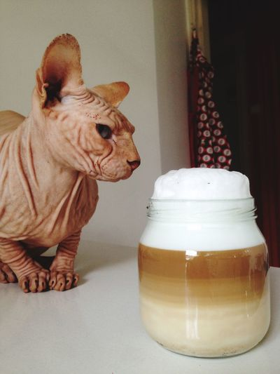 Love of coffee Don Sphynx Coffee Sphynx Cat Sphynx Animal Themes Animal Mammal Indoors  Domestic Animals One Animal Domestic Pets Animal Representation No People Dairy Product Food And Drink Cat Home Interior Representation Food Sweet Food Table EyeEmNewHere