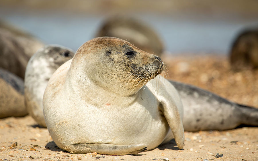 head towards the Nelson Head public house and 1 mile from there is the seals. Wildlife & Nature Wildlife Photography Beach Sand Seals Seals Chilling Seals On Beach Water Young Seal