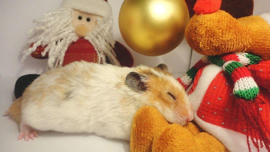 Новый год уже давно прошёл, ну а выложить фото никогда не поздно) Это мой хомячок Pets Hamster ♡ Love NewYear Hamster 💞 First Eyeem Photo