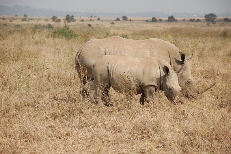 Rhinoceros on grassy field against cloudy sky