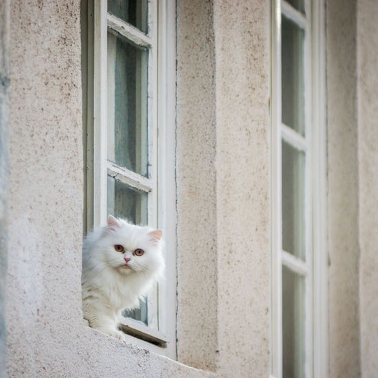 White cat at window