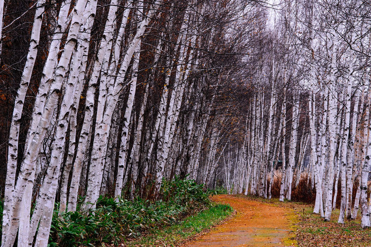 Path into Birch Trees in Autumn Tree Plant Trunk Tree Trunk Beauty In Nature Forest Tranquility Tranquil Scene No People Outdoors Road Trip Future Prospect Track Trail Path Adventure Unkown RISK Surprise Lost Birch Trees White Golden