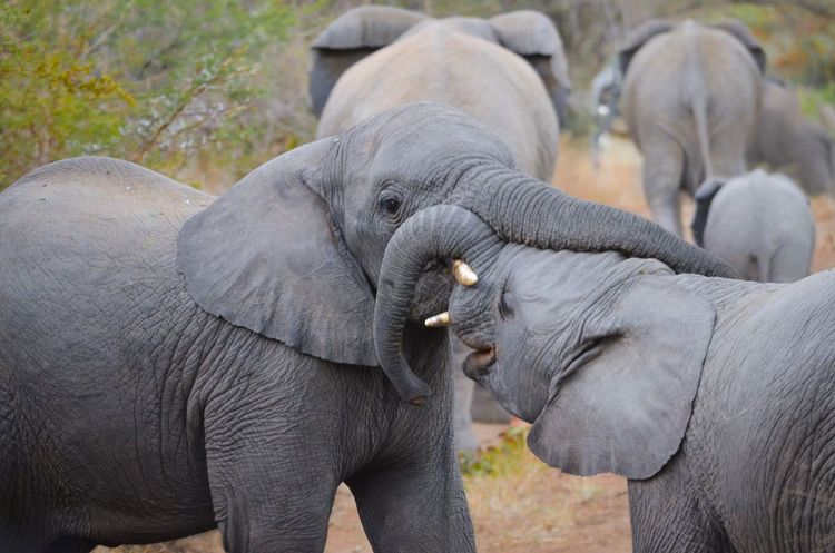 Mammal Young Animal Togetherness Love Elephant Part Of Bonding Focus On Foreground Person Domestic Animals Animal Family Care Safari Animals Animal Trunk Outdoors Day Zoology Kruger Park Krüger National Park  South Africa