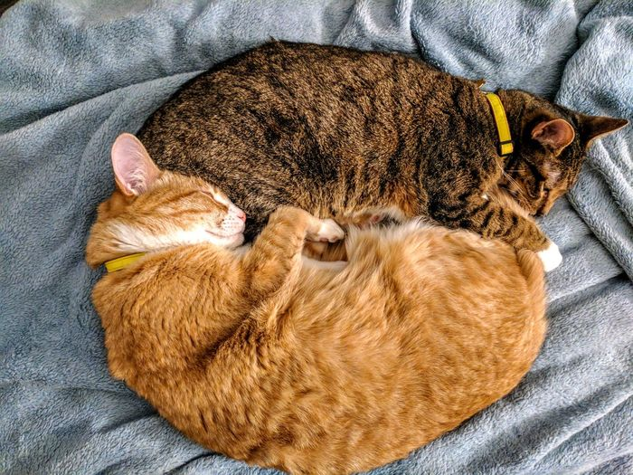 Yin and yang Indoors  Pets Bed Furball Leopard Whisker Mammal Feline Domestic Cat My Pets