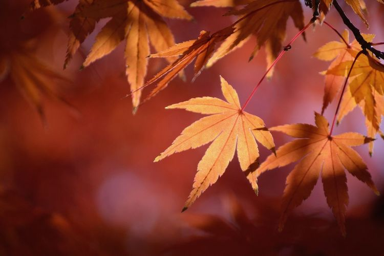 Autumn Leaf Change Maple Leaf Nature Beauty In Nature Maple Tree Day Close-up Growth Outdoors No People Branch Maple 太宰府天満宮 太宰府