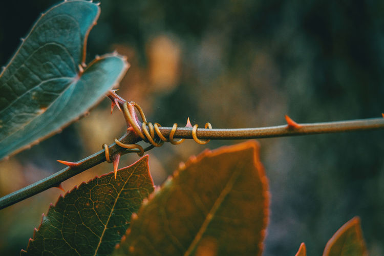 Autumn Beauty In Nature Change Close-up Day Focus On Foreground Green Color Growth Leaf Leaf Vein Leaves Nature No People Outdoors Plant Plant Part Plant Stem Selective Focus Thorn Tree