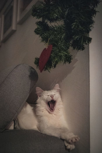Cat yawning at home
