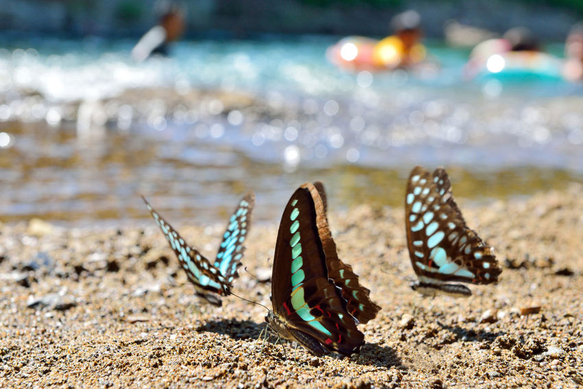 Green butterfly free to fly in the stream water foraging. Earth Fly Natural Animal Themes Animals In The Wild Beach Beauty In Nature Bleu Butterfly Butterfly Close-up Comfortable Day Ecology Focus On Foreground Foraging Insect Nature No People One Animal Outdoors Sand Sea Sea Life Soil Water