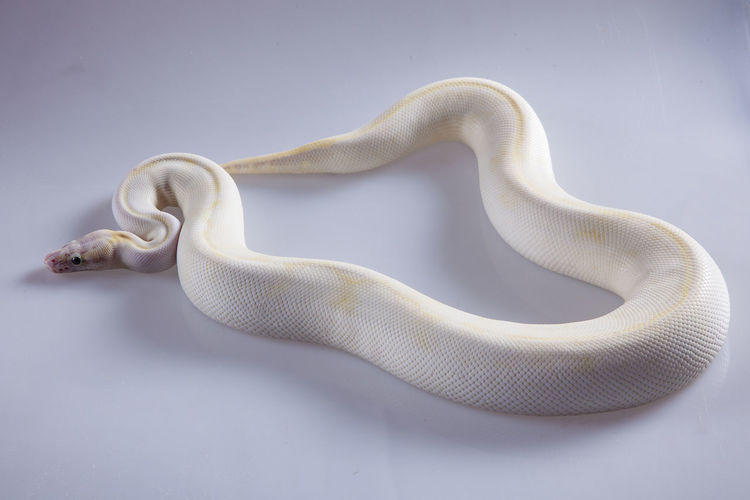 Close-up of a white ivory ballpython on white background