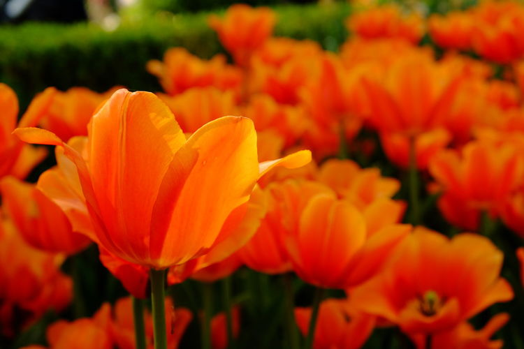 Floralia Brussels 2019 - Outdoors No People Nature Inflorescence Growth Flower Head Close-up Freshness Plant Petal Beauty In Nature Fragility Vulnerability  Flower Flowering Plant Tulip Tulips Spring Springtime Orange Color