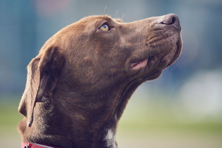 Adorable Animal Beautiful Close-up Cute Day Lovely Mammal No People One Animal Outdoors Pet Photography  Portrait Vizsla