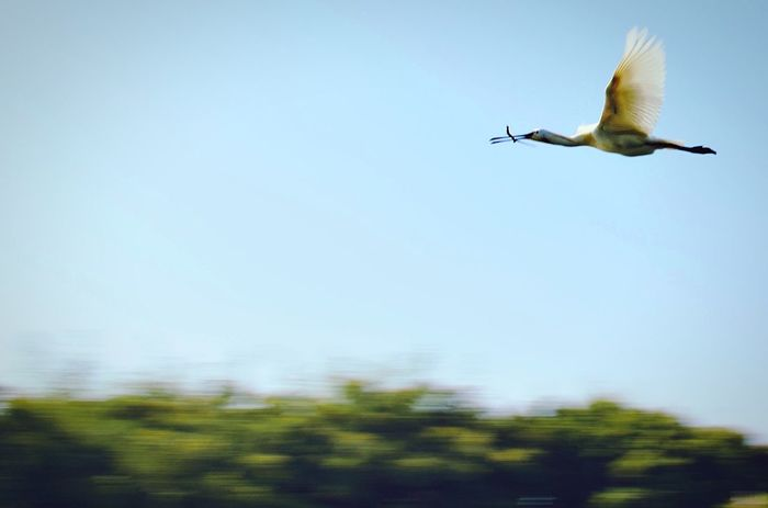 Ranganathittu bird sanctuary Flying Bird Animal Wildlife Animals In The Wild One Animal Low Angle View Spread Wings
