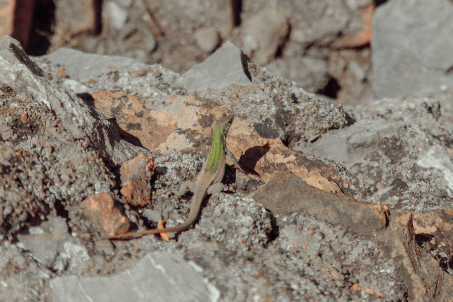 Lizard Nature Reptile Rocky Backgrounds Close-up Day Full Frame Nature No People Outdoors Rough Small Animal Stone Tank Textured  Wild Life
