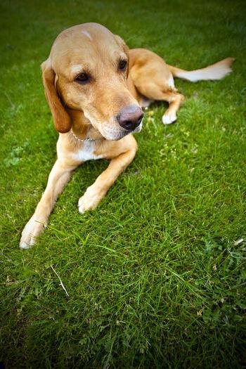 Beagle Canine