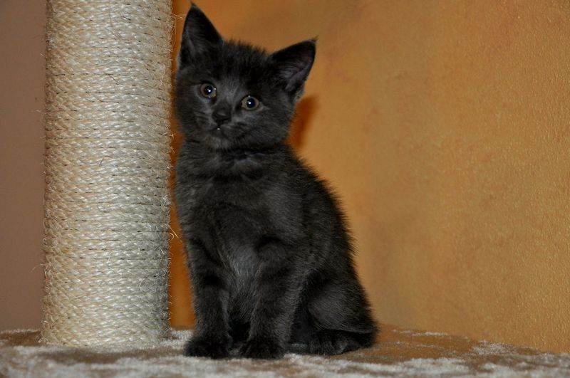 Portrait Of Black Kitten By Scratching Post Against Wall