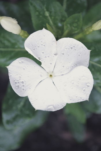Close-up of wet white flower blooming outdoors