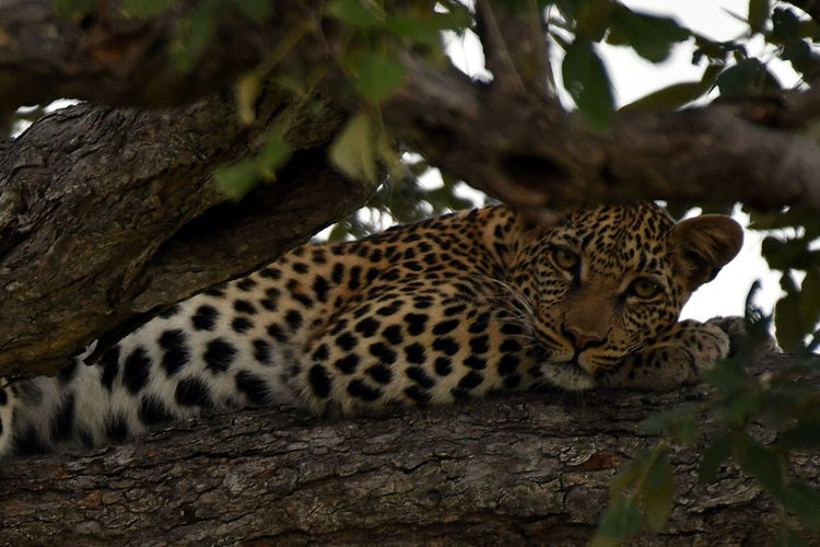 Animal Themes Animals In The Wild Day Leopard Lying Down Mammal Nature No People One Animal Outdoors Relaxation Tree Tree Trunk