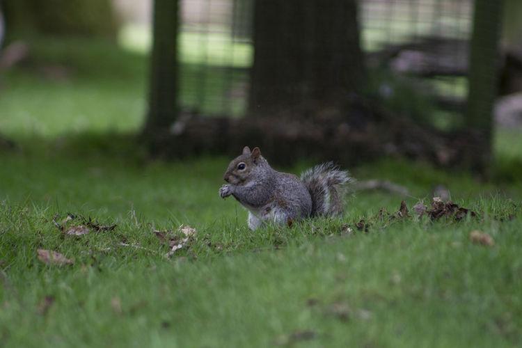 Squirrel on a field