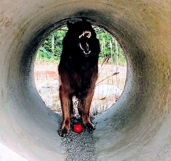 Landshark German Shepherd Teeth Dog Training Pipe Day