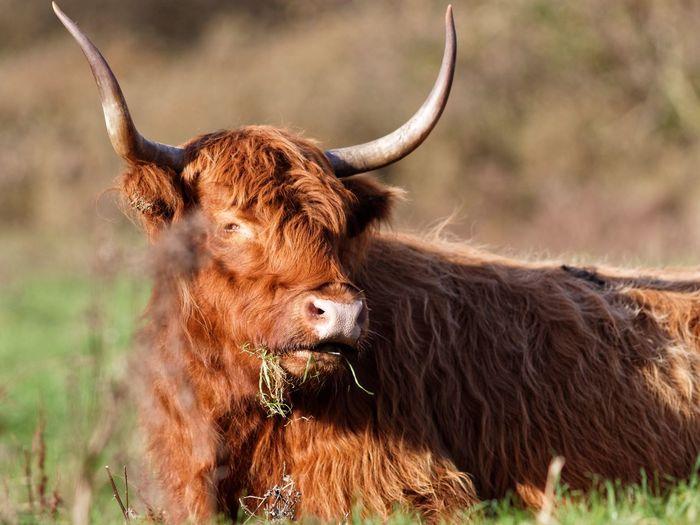 Highland Cattle Schotse Hooglanders Getting Closer