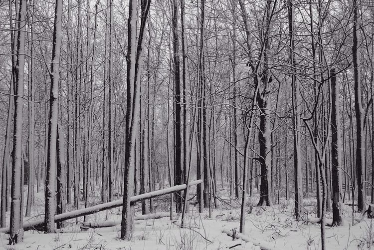 A calm walk in the woods. Enjoying Life Nature Trees Snow ❄ Woods Tranquility Tranquil Scene Storm Contemplative
