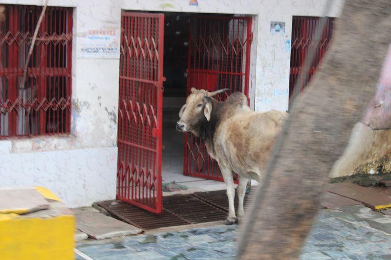 Holy cow Mammal Animal Themes Animal Vertebrate Livestock Standing